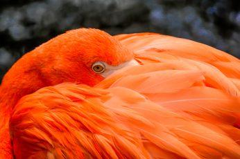 Wallpaper Close Up Photography Of Orange Bird, Flamingo