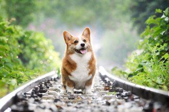 Wallpaper Dog, Shepherd, Wales, Welsh Corgi 3840x2400px