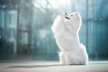 Wallpaper Dogs, Samoyed, Pet 2048x1365px (1080p) Free