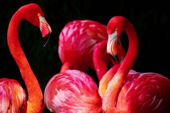 Wallpaper Flamingos, Birds, Animals 3840x2160px 4k Free