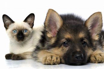 Wallpaper German Shepherd Puppy And Siamese Kitten Photo