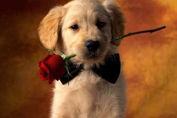 Wallpaper Golden Retriever Puppy Biting Red Rose Photograp