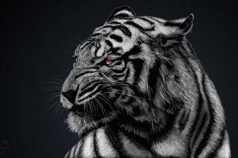 Wallpaper Gray And Black Tiger, Greyscale Photo Of Tiger