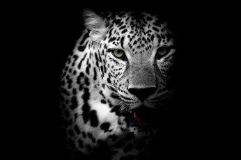 Wallpaper Leopard, Dark, Animal, Wild, Monochrome