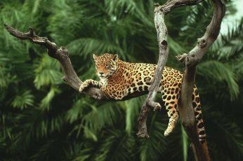 Wallpaper Leopard On Tree, Nature, Animals, Jaguars, Cat