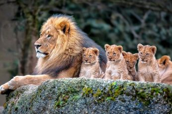 Wallpaper Lion And Baby Lions, Nature, Animals, Baby Animal