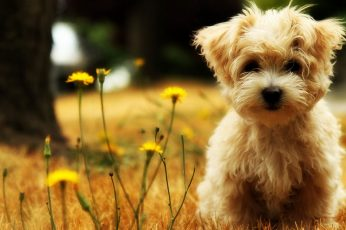 Wallpaper Long Coated Brown Puppy, Dog, One Animal