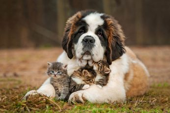 Wallpaper Long Coated White And Tan Dog, Animals, Cat