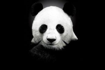 Wallpaper Panda Wallpaper, Monochrome, White, Black