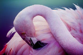 Wallpaper Pink Flamingos, Bird, Feathers, Neck 2880x1920px