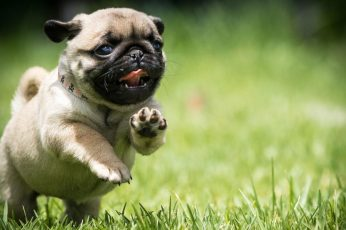 Wallpaper Pug, Dog, Field, Run, Puppy, Grass, Cute, Mops