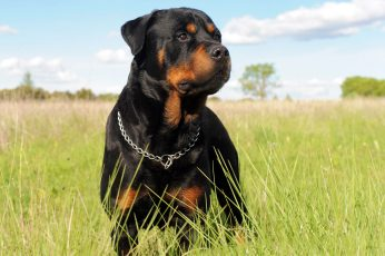 Wallpaper Rottweiler Dog, Black, And Mahogany Rottweiler