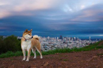 Wallpaper Tan And White Siberian Husky, Shiba Inu, Dog