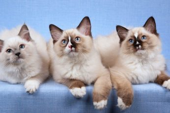 Wallpaper Three Ragdoll Cats, Kitten, Animal