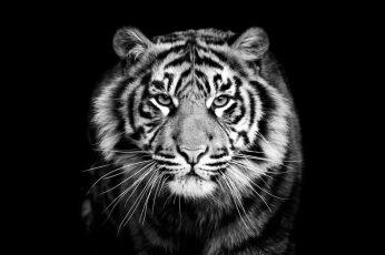 Wallpaper Tiger, Black, Black And White, Wildlife