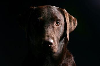 Wallpaper Adult Chocolate Labrador Retriever, Dog, Muzzle