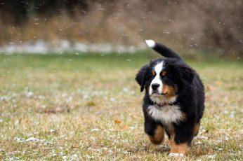 Wallpaper Animals, Dog, Bernese Mountain Dog