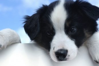 Wallpaper Black And White Puppy, Dog, Puppies, Border