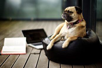 Wallpaper Brown Pug Dog, Animals, Books, Canine, One Animal