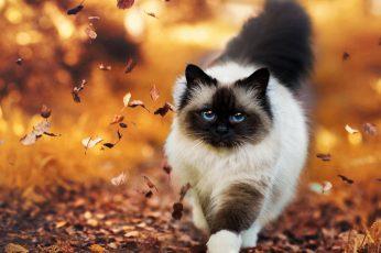 Wallpaper Cat, Cute, Confident, Autumn, Leaves, Walk
