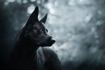 Wallpaper Dark, Dog, Animals