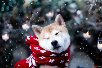 Wallpaper Dog, Animals, Snow, Shiba Inu