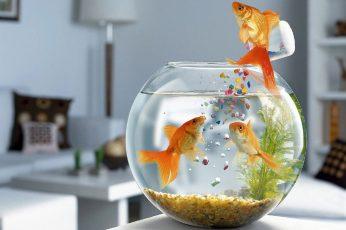 Wallpaper Funny Fish, Three Common Gold Fish, Wallpapers