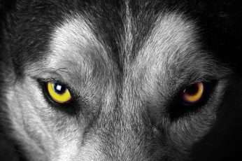 Wallpaper Gray Wolf Face, Animals, Selective Coloring