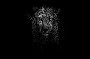 Wallpaper Grayscale Photography Of Leopard, Predator