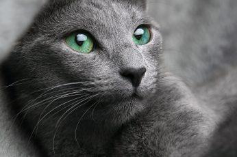 Wallpaper Grey Cat, Russian, Blue, Look, Eyes, Gray, Pet