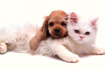 Wallpaper Long Coated Brown Puppy And White Persian Kitten