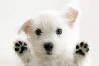 Wallpaper Long Coated White Puppy, Dog, Animals, Puppies