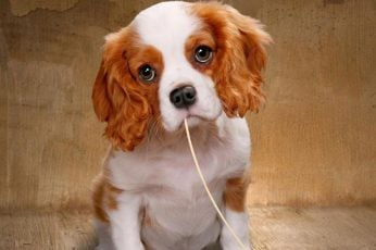 Wallpaper Puppy Dog Eyes, Pets, Dogs, Animals, Cute Animal
