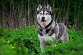 Wallpaper Siberian Husky, Dog, Heterochromia, Animals