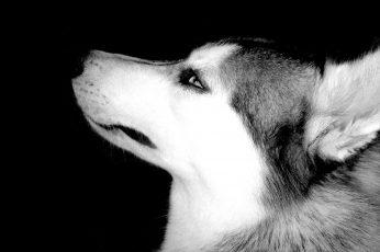 Wallpaper Siberian Husky Grayscale Photography, Animals