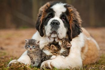 Wallpaper Tan, Black, And White St. Bernard And Black