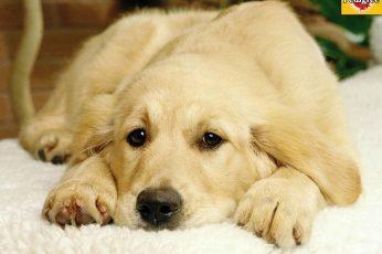 Wallpaper Thinking Puppy Dogs Golden Retriever Hd, Golden