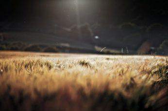 Wallpaper Brown Crop Field, Brown Grass Field, Wheat