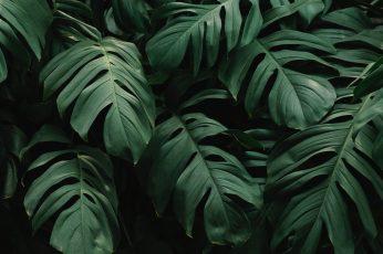 Wallpaper Beautiful, Green Leaves, Monstera