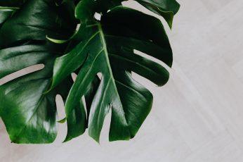 Wallpaper Dark Green Leaves Of Monstera, Copy Space