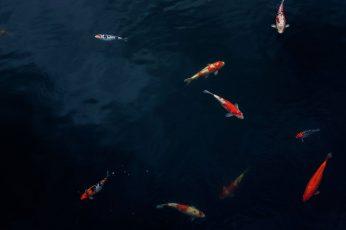 Wallpaper Fish, Nature, Carp, Pond, Water, Outdoors, Koi