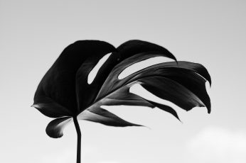 Wallpaper Grayscale Photography Of Swisscheese Leaf, Plant