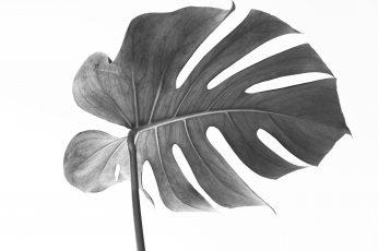 Wallpaper Monstera, Leaf, Plant, Botanica, Monstera Deliciosa