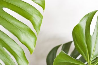 Wallpaper Monstera, Plant, Foliage, The Tropical, Nature