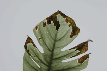 Wallpaper Photo Of Green Leaf, Withered Green Philodendron
