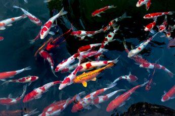 Wallpaper School Of Koi Fish, Animals, Aquatic Animal