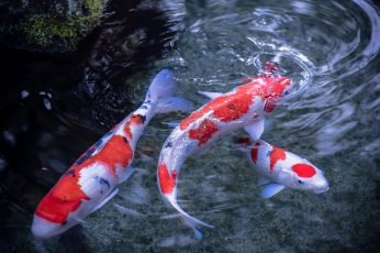Wallpaper Three Red And White Koi Fishes, Water, Japanese